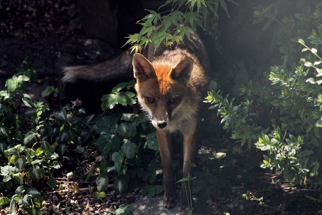 Redhill Garden Morning - June 2015 - Our Foxy Intruder Emerges into the Sunlight