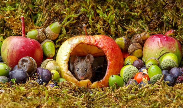 wild house mouse
