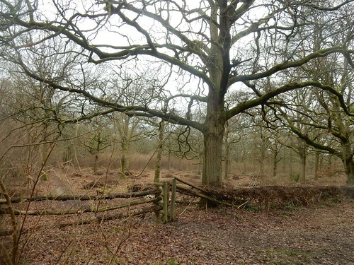 Tree and hedge Holmwood to Reigate Hammonds Copse
