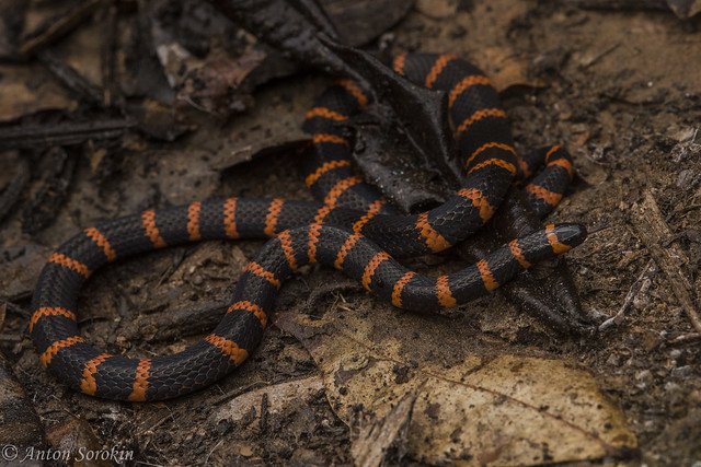 Annellated Coral Snake