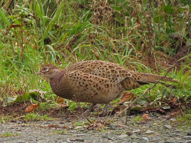 Pheasant, Lomond area, Scotland