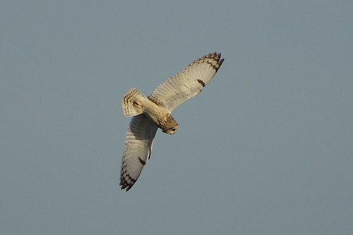 asioflammeus shorteared owl burwellfen cambridgeshire bird wild wildlife nature flight