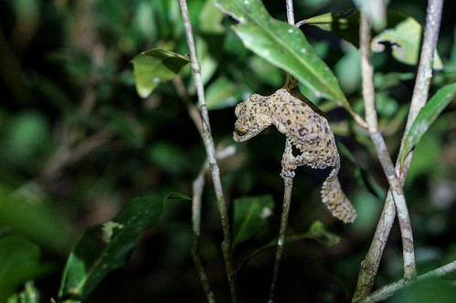 Leaf Tailed Gecko | by TAZMPictures