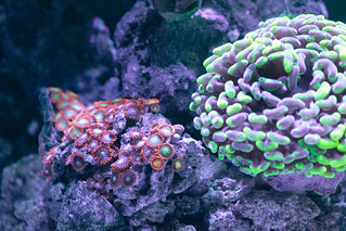 Reverse Torch coral | by molchen