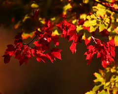 'Leaves of Red and Gold'