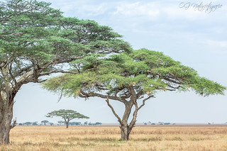 Some Tanzanian landscape...I really love these acacia trees   by Oliver Geiseler