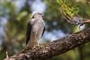 Japanese sparrowhawk, Hawks of Okinawa by Okinawa Nature Photography