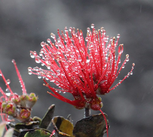 Metrosideros polymorpha var. polymorpha flowers | by J. B. Friday