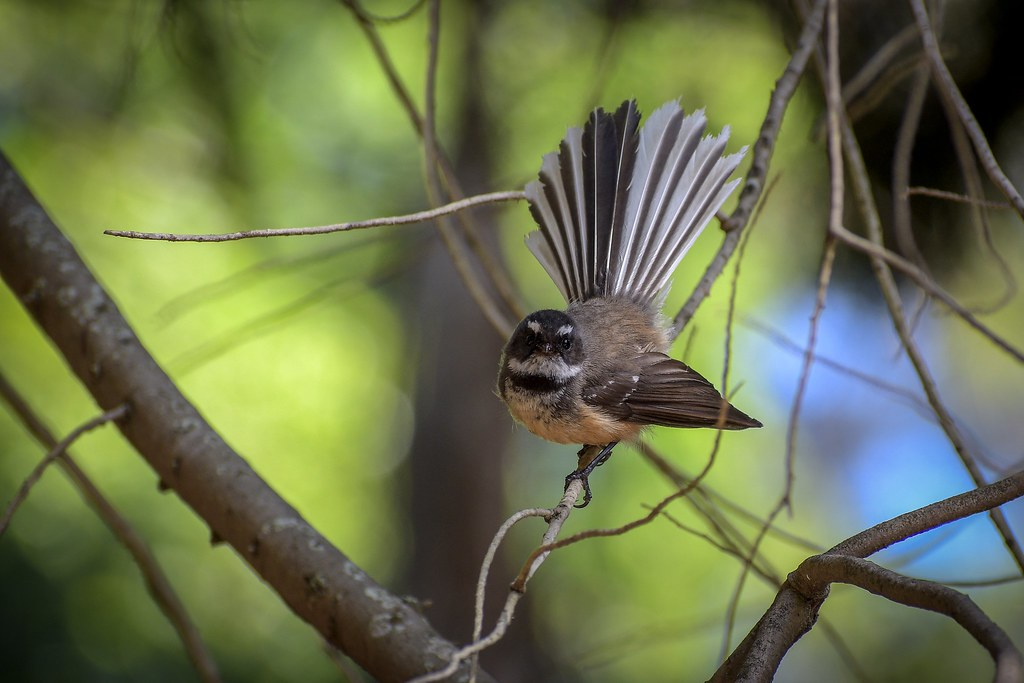 Fantail - Showing those beautiful tail feathers