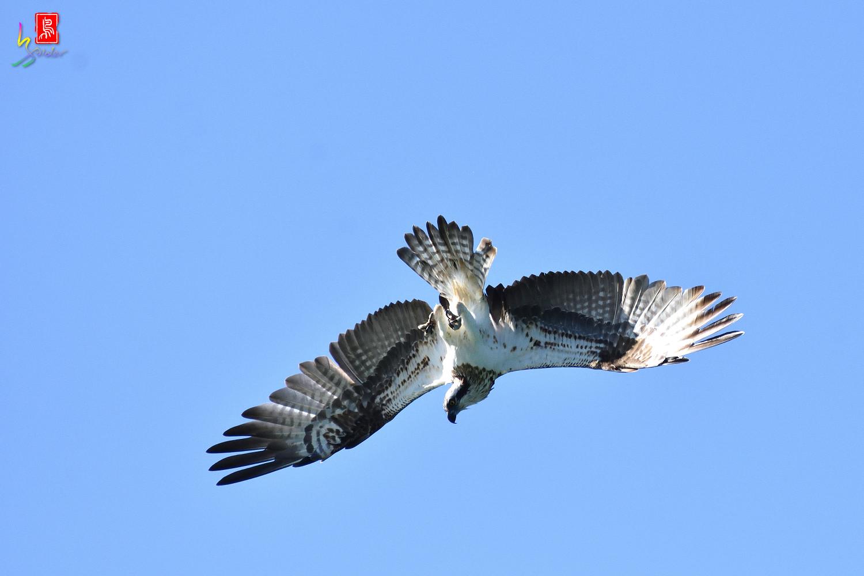 Osprey_9591