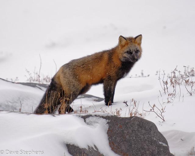Red Fox On Rocks