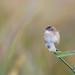 Cisticole des joncs (Cisticola juncidis) - Zitting Cisticola