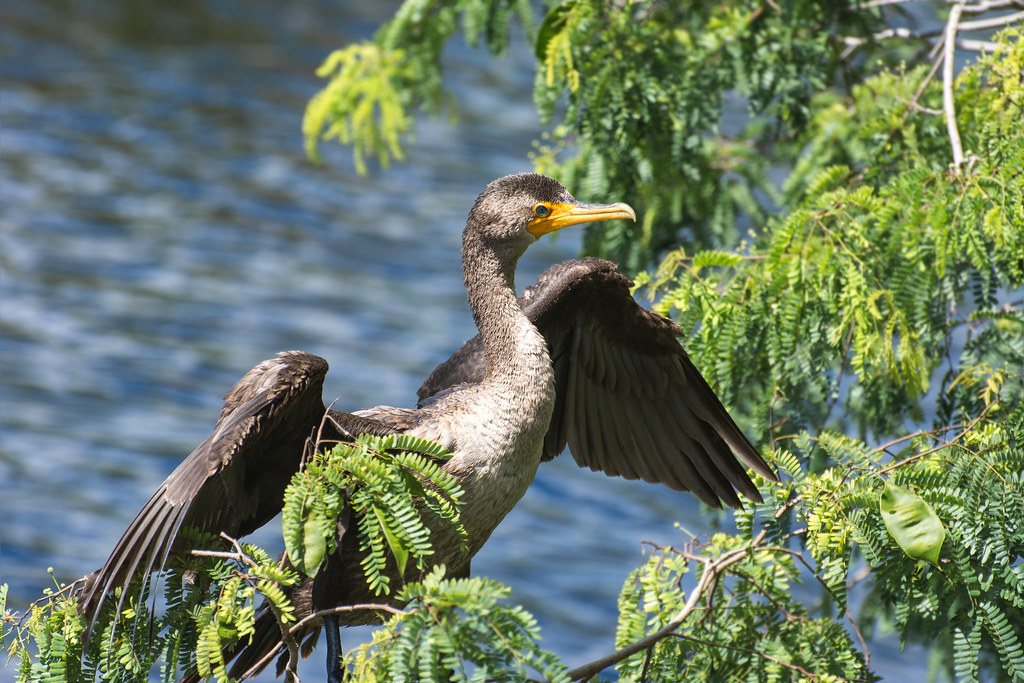 Double-crested cormorant / Phalacrocorax auritus