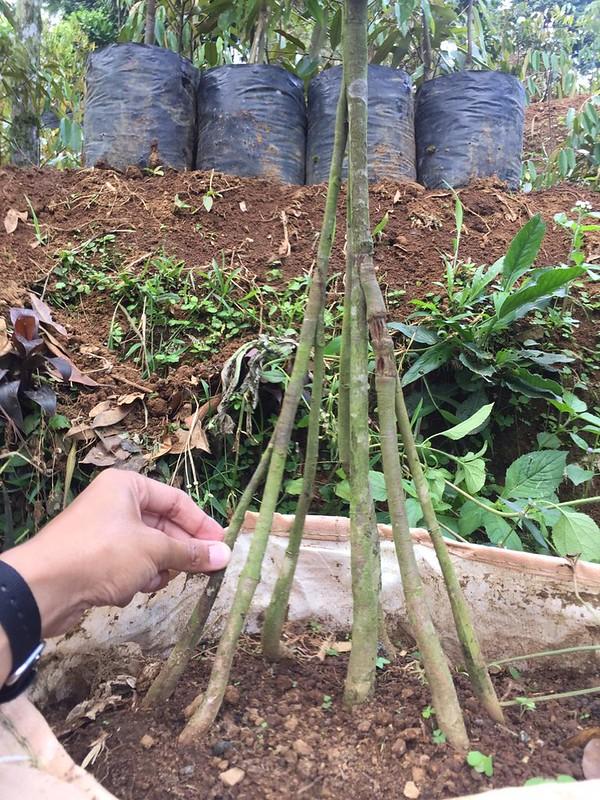 buah durian mataqu farm puncak