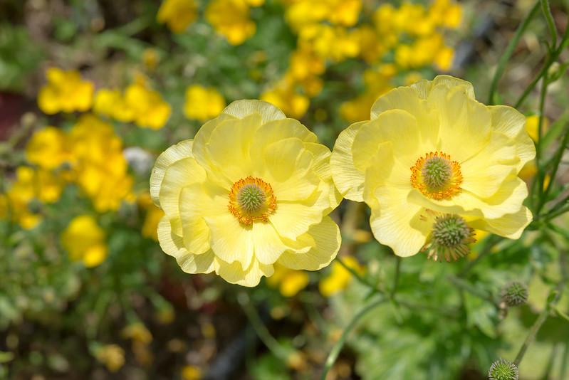 Обои желтый, ветреница, анемон картинки на рабочий стол, раздел цветы - скачать