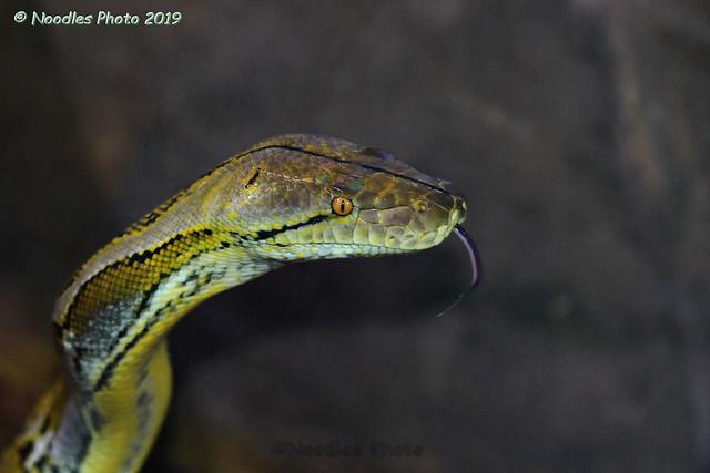 Netzpython - Reticulated python