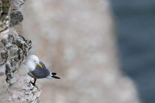 Kittiwake (Rissa tridactyla) | by Photography by Matt Latham
