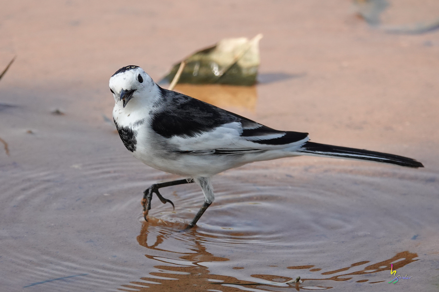 White_Wagtail_SONY_00224