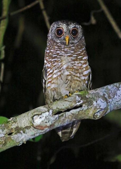 African Wood Owl - Strix woodfordii