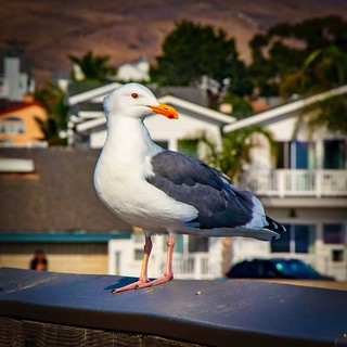 Pacific Gull at the Cayucos Pier | by CDay DaytimeStudios w /1 Million views