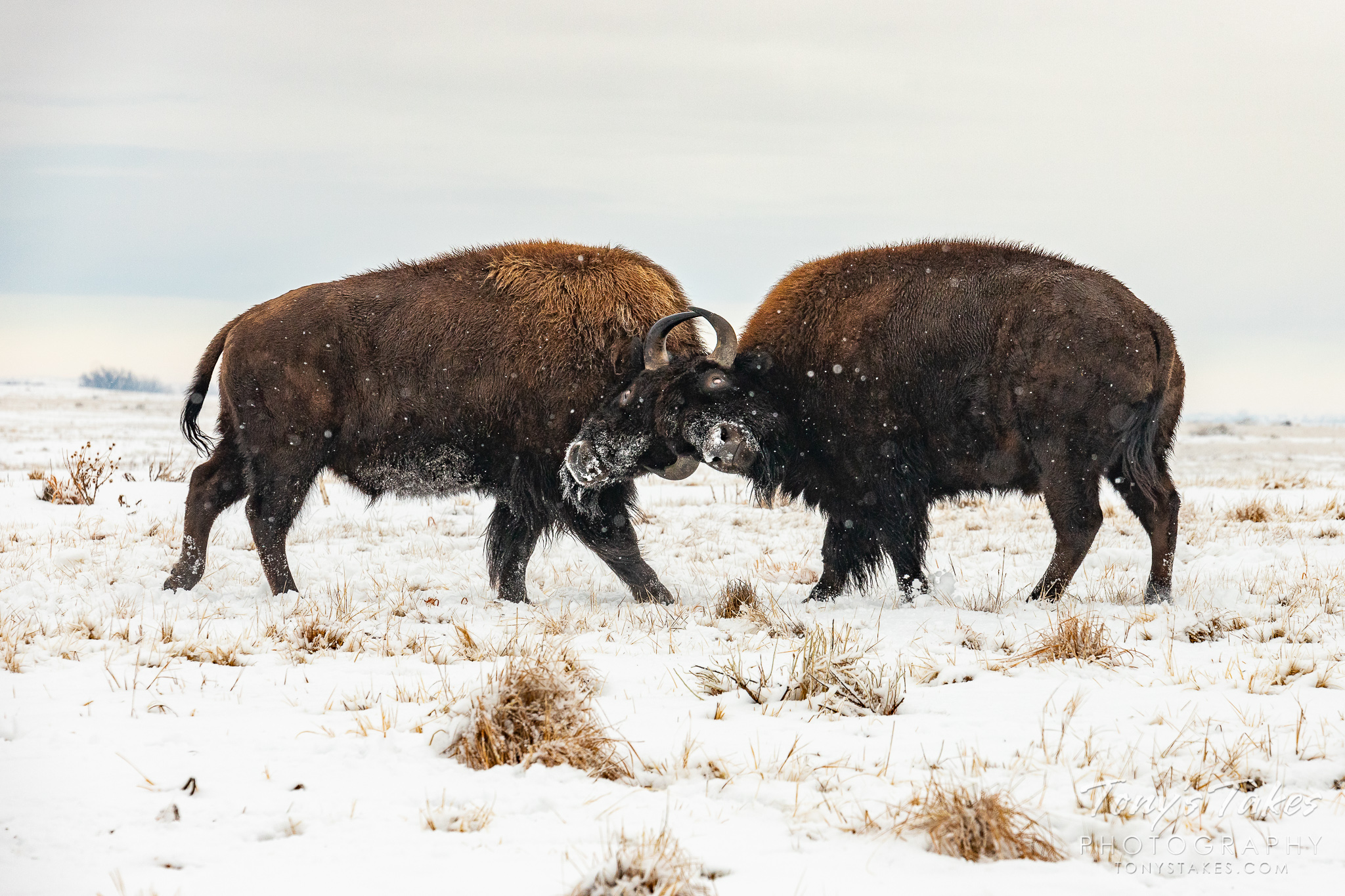 Bison bulls battle head to head as a snowstorm winds down on the Colorado plains. (© Tony's Takes)