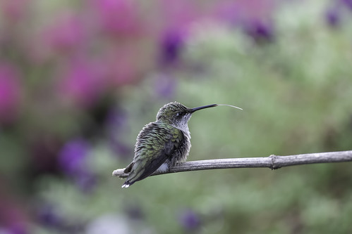 hummingbird alert archilocuscolubris aves backyard balance beautiful beauty beijaflores bird bokeh colibris fauna free fresh garden migratory nature nopeople outdoors passaros rubythroatedhummingbird wildlife wings avian ornithology apodiformes