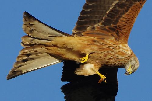 stilton cambridgeshire wild bird nature wildlife redkite milvusmilvus