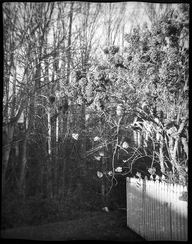 tree with dried bossoms, white picket fence, late light, Asheville, NC, Ferrania Tanit, Rera Pan 400, Ilford Ilfosol 3 developer, 11.20.18