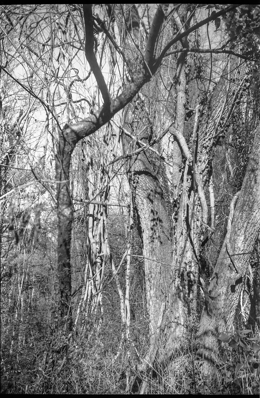 trees and vines, forest, Asheville, NC, Goerz Box Tengor, Arista.Edu 200, Ilford Ilfosol 3 developer, 11.21.18