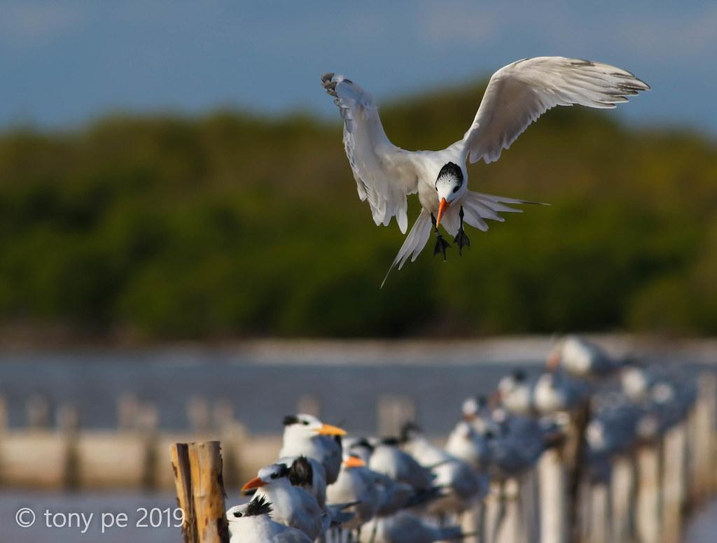 Charrán Real- Sterna maxima- Royal Tern.