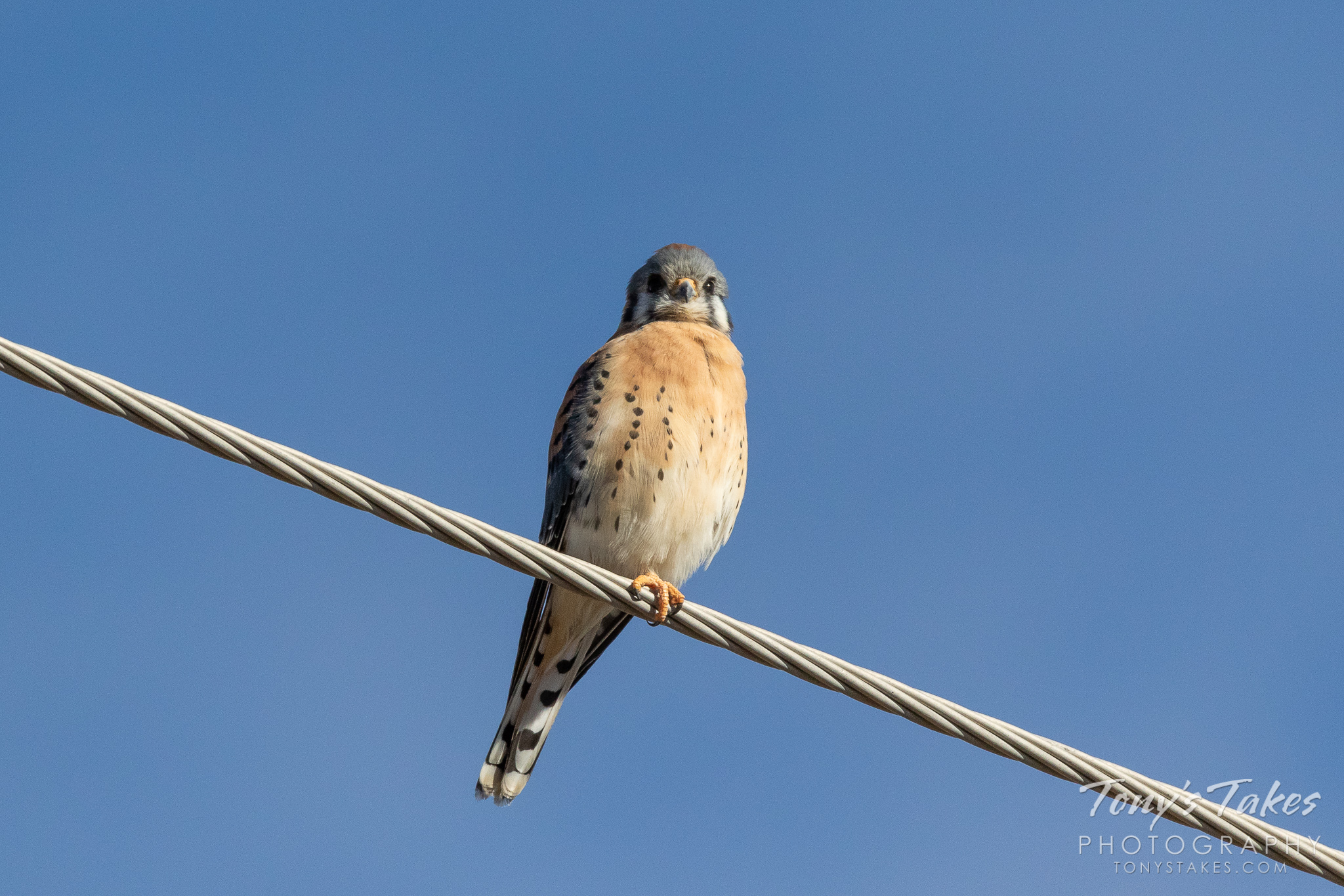 A male American Kestrel hangs out on a wire. (© Tony's Takes)