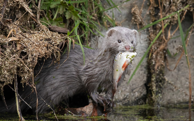 Mink with a fish (Tealham Moor)