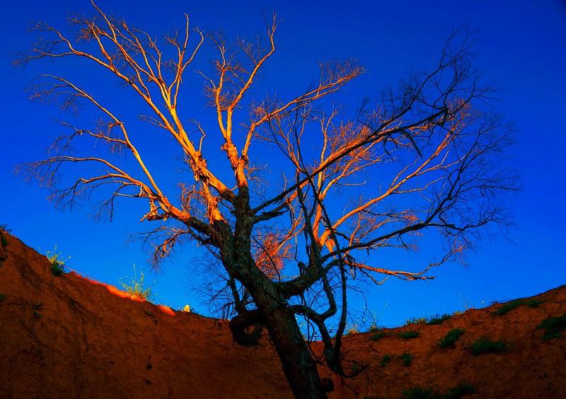 Wüstenbaum 1