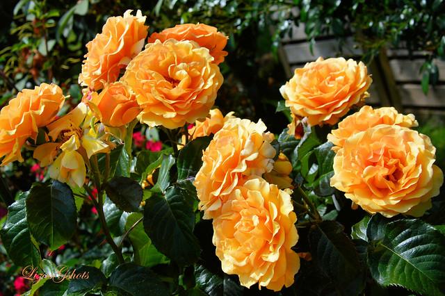Amber Queen Rose
