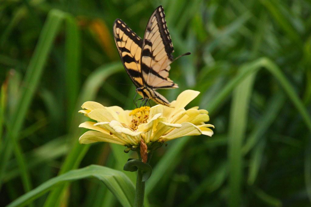 Atlanta Botanical Garden Butterfly On Zinnia Flower Atla Flickr