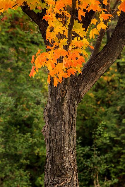 MD Autumn Tree 3-0 F LR 11-8-18 J081