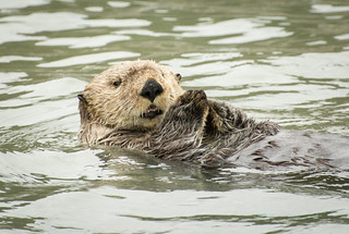 Young Sea Otter | by Sheila Newenham