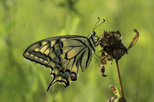 Pääsusaba magamistoas/Swallowtail in the evening light