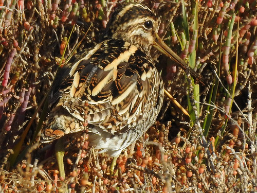 Common Snipe (Gallinago gallinago) | by Brian Carruthers-Dublin-Eire
