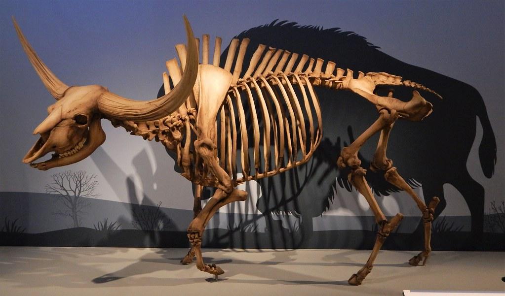 Edmonton Alberta Canada 2018  (186) prehistoric giant-horned bison, Royal Alberta Museum