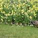 D474292 Mallard with Ducklings