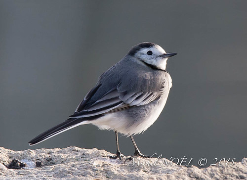 Bergeronnette grise - Motacilla alba - White Wagtail : Michel NOËL © 2018-6571.jpg | by Michel NOEL 1,4 M + views .Thanks to visits