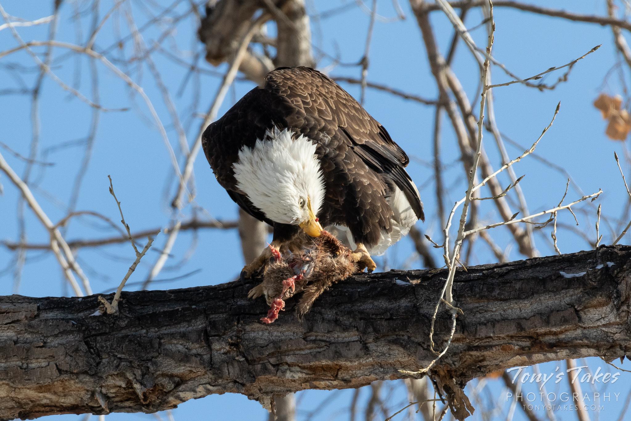 A bald eagle in Thornton, Colorado, devours a prairie dog. (© Tony's Takes)