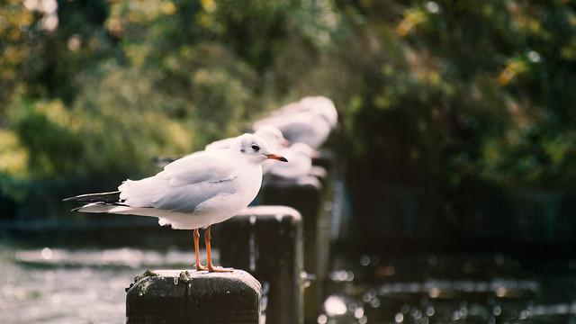 Hyde Park - Gulls