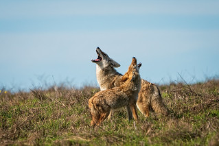Coyote Concert | by lennycarl08