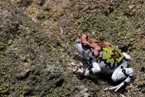 Ornate hopper, Scaphiophryne gottlebei, in native habitat, Isalo National Park, Madagascar