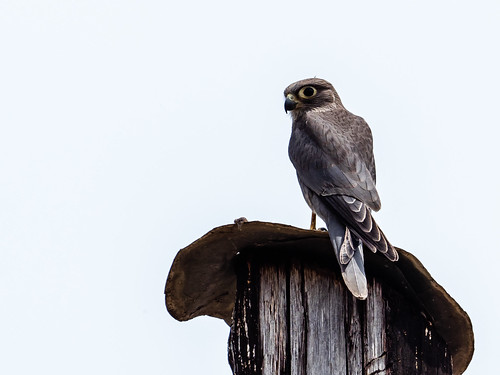 impressions greykestrel oiseaux westernregion falcoardosiaceus greykestrelfalcoardosiaceus nature uganda buliisadistrict ug