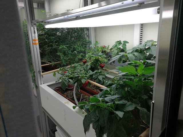 Gewächshaus in der koreanischen Station Jang Bogo - das DLR Experiment EDEN bekommt Konkurrenz