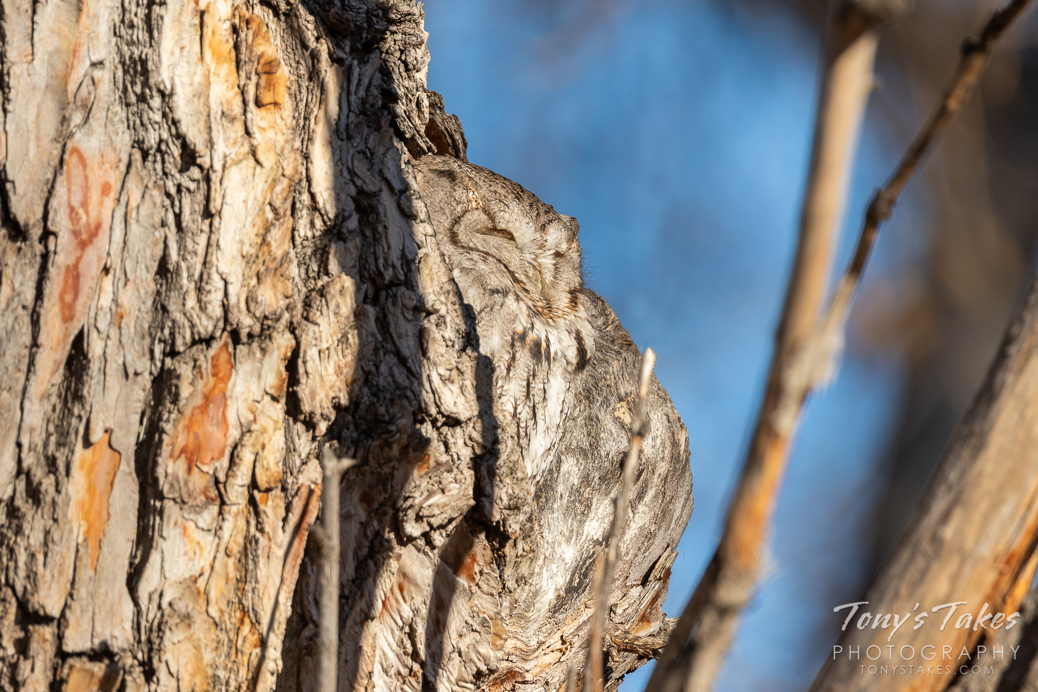 Little Screech Owl showcases its camouflage