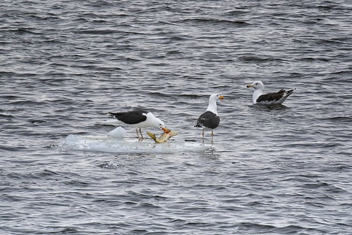 Goéland marin / Larus marinus - Great Black-backed Gull | by Denis Tetreault